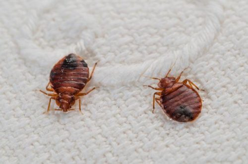 The Safest Eco-Friendly Ways to Get Rid of Bedbugs