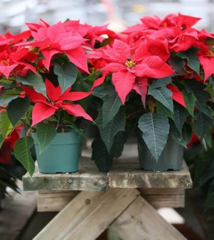 Stunning your Christmas with Poinsettias